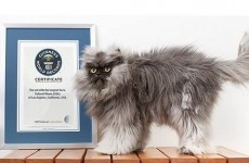 Colonel Meow's 9 inch fur is the world's longest