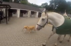 Video of a dog bringing the Gardaí's horse Fiachra for a walk
