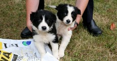 Collie pups tied in fertiliser bag and dumped in drain