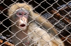 Japanese city sends 280 people on a monkey hunt