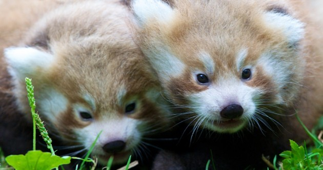 Having a crappy day? Come here and look at these red pandas