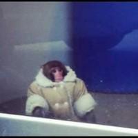 Ikea monkey Darwin to stay in animal sanctuary