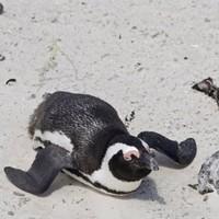 Penguins kidnapped from Australian island