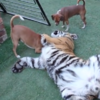 Tiger playing with dogs is simultaneously kind of lovely and absolutely terrifying