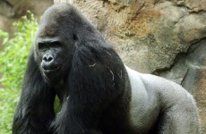 Anti-social 'bachelor' Gorilla moved from zoo because he doesn't like girls