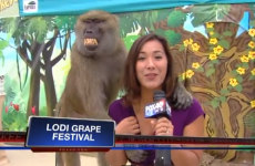 Baboon fondles reporter on live TV, is delighted with himself