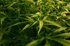 Two arrested after 400 cannabis plants seized in Leitrim
