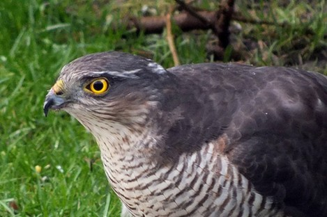 File photo of a sparrowhawk