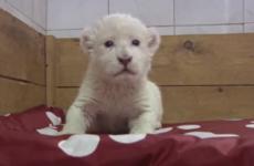 Adorable white lion cub attempts roar, sounds like goat