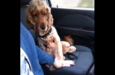 Scared dog needs his hand held when he's in the car