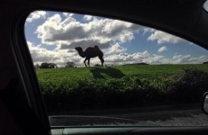 There is at least one camel on the loose in Finglas