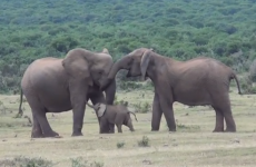 WATCH: Elephant family reunion is simply adorable