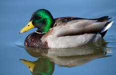 Love/Hate blamed for decapitated ducks