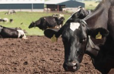 Methane released by livestock could be reduced by new diet