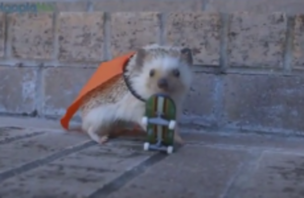 kayak is the only skateboarding baby hedgehog youll ever need