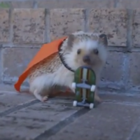 Kayak is the only skateboarding baby hedgehog you'll ever need