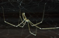 Debunked: Are Daddy Longlegs the most poisonous spiders in the world?