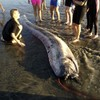Here's the 14-foot 'sea serpent' that washed up in California