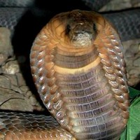"Missing Egyptian cobra found ""alive and well"""