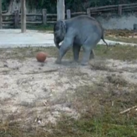 Baby elephants play with footballs at Thai conservation centre