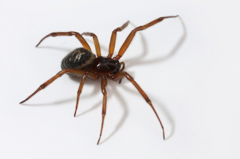 The false widow: 'will not jump at you from a web'.