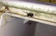 Have you seen a false widow spider where you live?