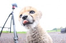Watch the newborn cheetah cub exploring at Fota Wildlife Park