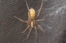 Is the false widow spider in Ireland? Maybe...