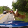 Deer's incredible escape from car caught on camera