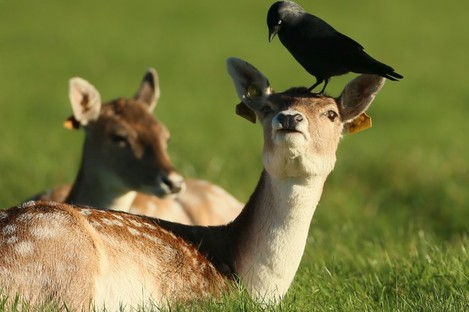 A crow on the head of a deer in the Phoenix Park during the week.