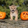 In pictures: Animals having the craic with pumpkins at Halloween