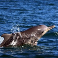 Scientists discover new species of dolphin