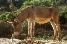 Donkey awarded for saving sheep's life