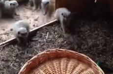 Wicker basket frightens the life out of meerkats