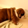 Here are some unspeakably cute bulldog puppies learning to walk
