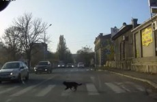 Clever dog knows how to use pedestrian crossing