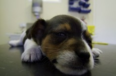 Vets 'shocked' that tail docking could be allowed under new regulations