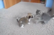 This puppy versus kitten brawl is adorable