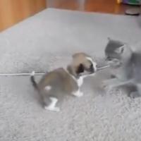 This puppy versus kitten brawl is adorable