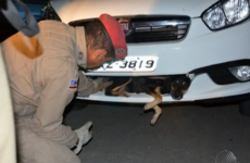 Dog survives 90km ride stuck in bumper after being hit by car