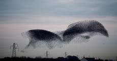 Beautiful murmuration of starlings causes power outages in village