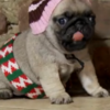 This pug puppy reenactment of Home Alone is adorable