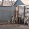 Watch how this scary guard dog transforms when pop music plays