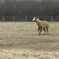 Llama playing fetch, and bloody loving it