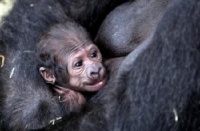 It's a.... boy (gorilla)