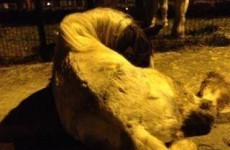 Horse euthanised after being found with two broken legs in Wicklow estate