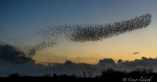 Giant Murmuration of Starlings in Galway Pic of the Day