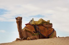Scientists find first definitive proof MERS disease infects camels