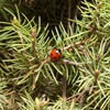 Invasion! How ladybirds have taken over Christmas trees this year