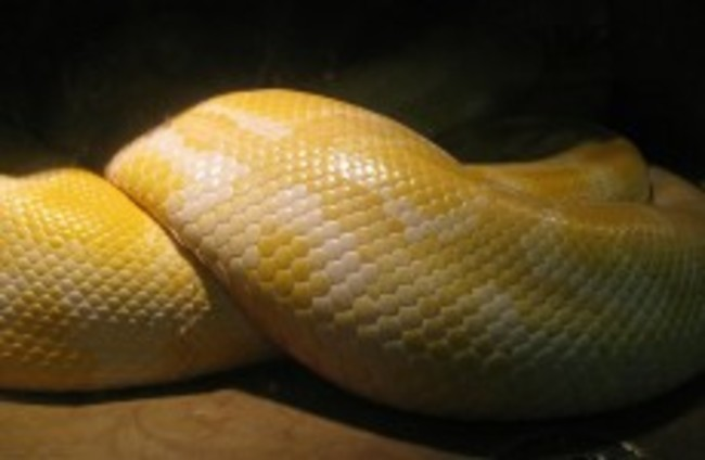 US police rescue woman from jaws of pet python